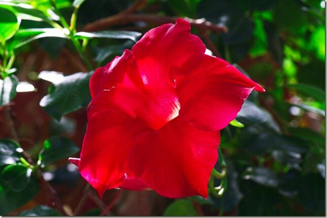 Lamberton Conservatory Red 2